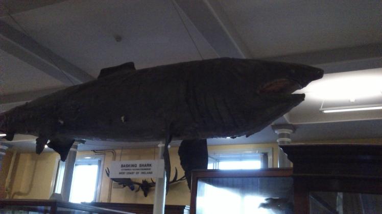 Esse tubarão era muito comum por aqui.