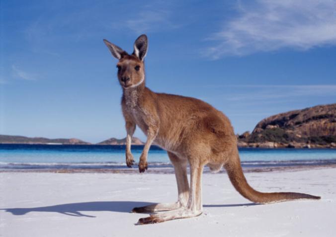 Oi, eu sou um canguru australiano.